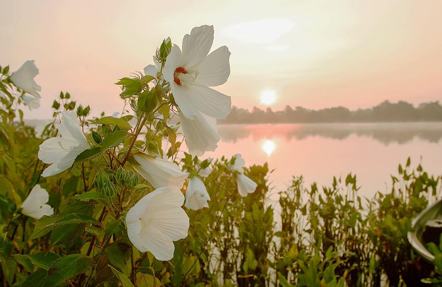 Marsh Hibiscus by Dave Harp