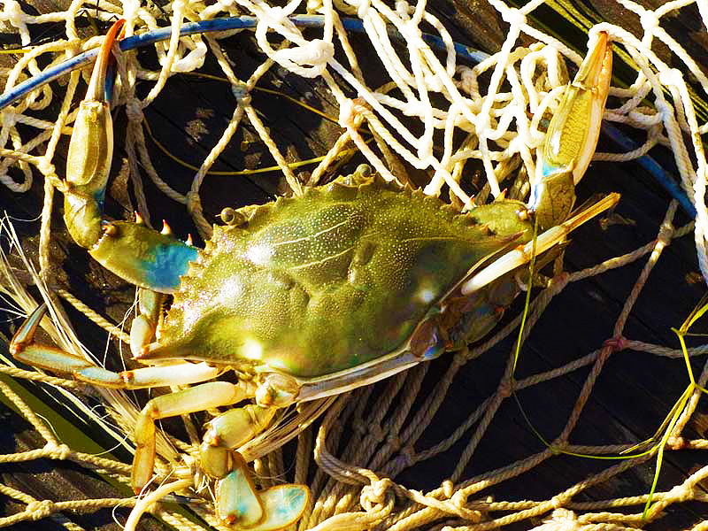 Blue crab in a net.