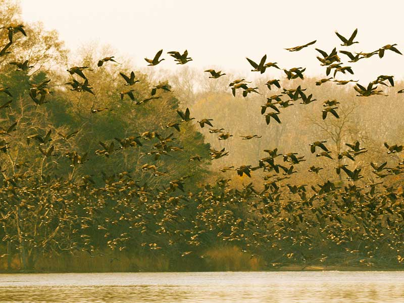 Geese rising out of a Chesapeake marsh.